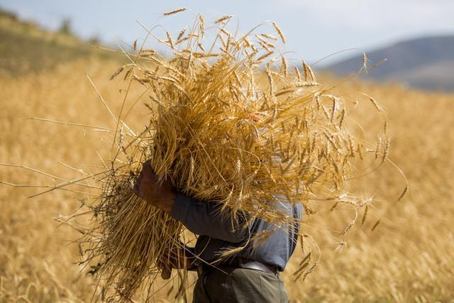 رتبه برتر همدان در تولید گندم، تولید سالانه نزدیک به 5 میلیون تن محصولات کشاورزی